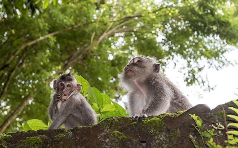 Monkey Forest v Ubudu - roztomilé bestie nám zpestřovali pobyt i v našem hotýlku