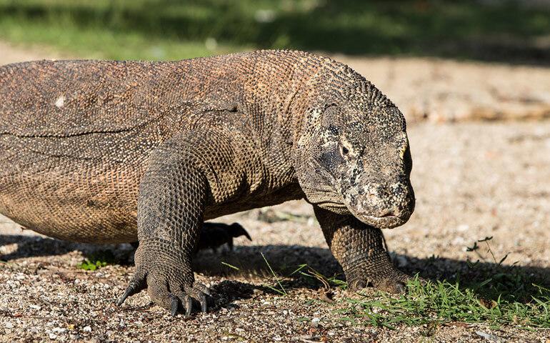 Varan komodský, monumentální ještěr, kterého potkáte hned jak vstoupíte na ostrov.